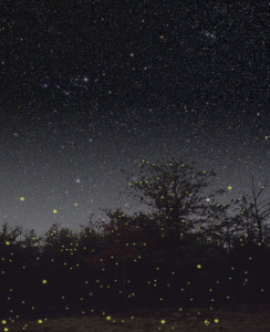 Fireflies at twilight
