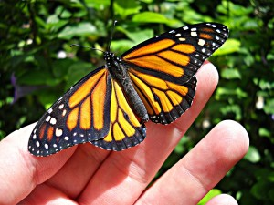 monarch_butterfly