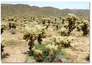The dangerous Southwest Cholla